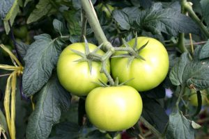 Our tomatoes are growing strong in our green house.